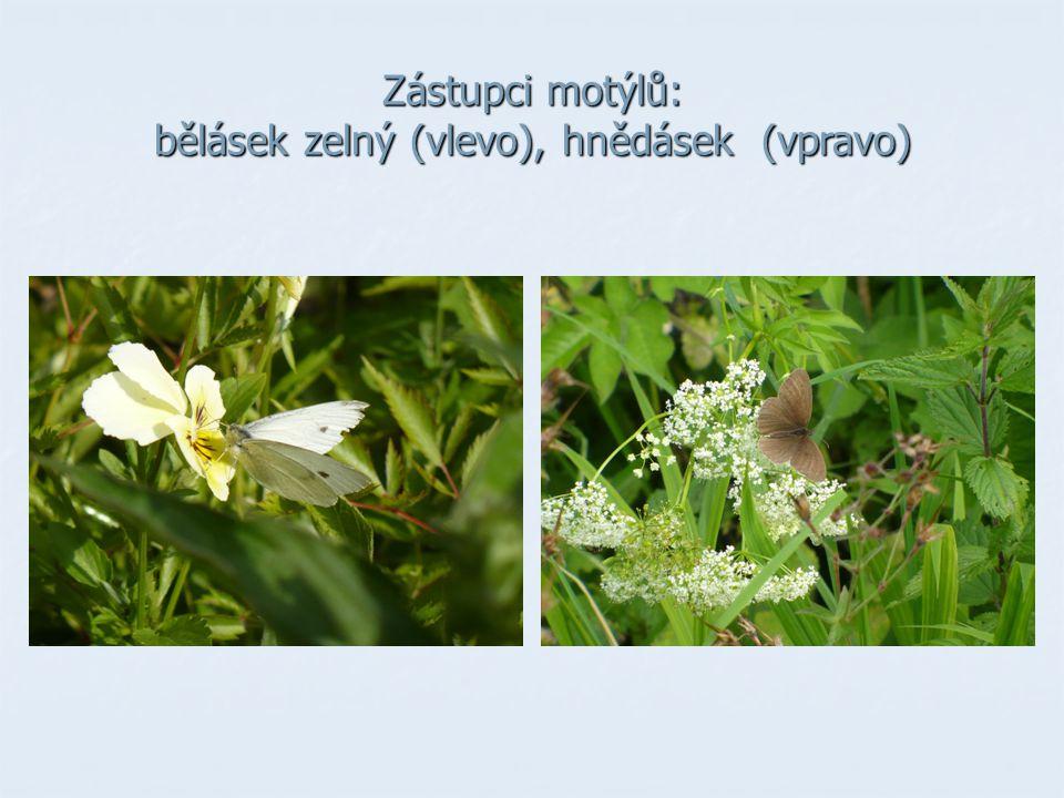 Zástupci motýlů: bělásek zelný (vlevo), hnědásek (vpravo)