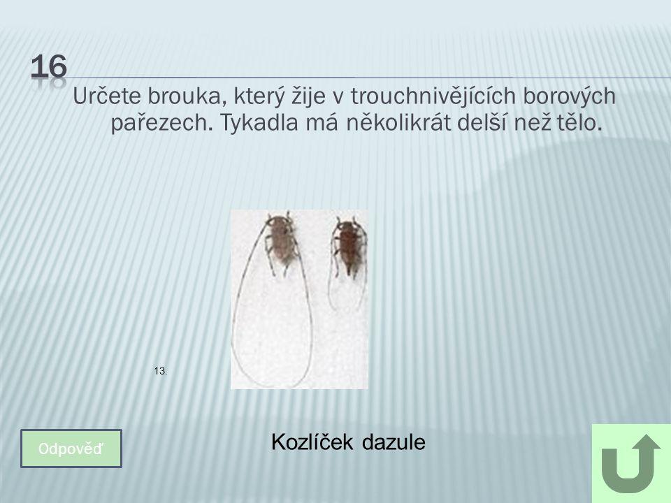 16 Určete brouka, který žije v trouchnivějících borových pařezech. Tykadla má několikrát delší než tělo.
