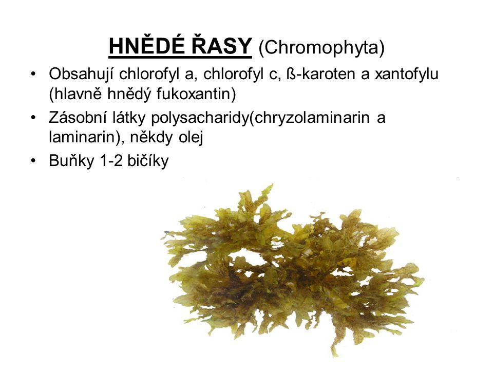 HNĚDÉ ŘASY (Chromophyta)