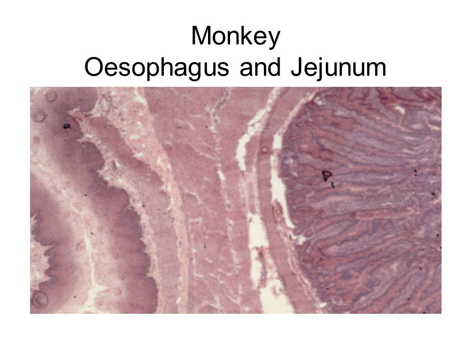 Monkey Oesophagus and Jejunum