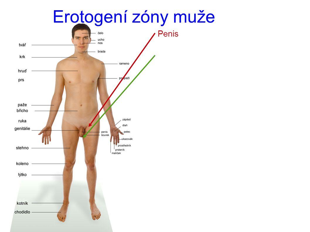 Erotogení zóny muže Penis