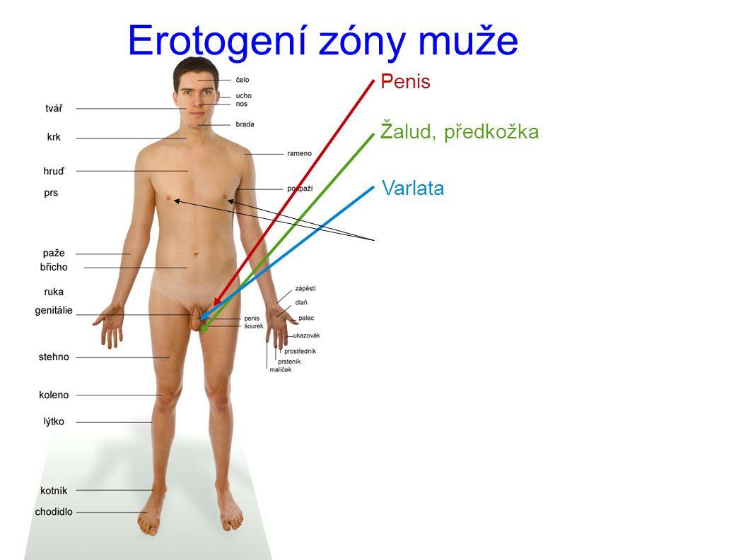 Erotogení zóny muže Penis Žalud, předkožka Varlata