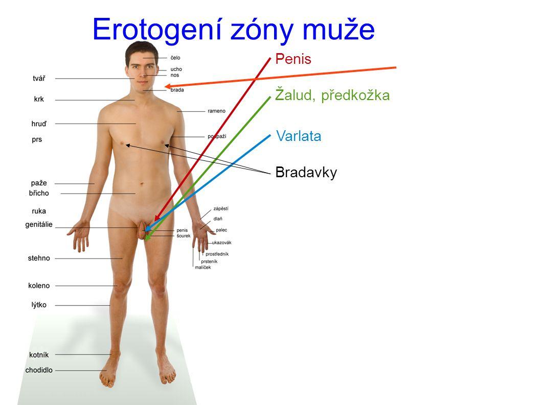 Erotogení zóny muže Penis Žalud, předkožka Varlata Bradavky