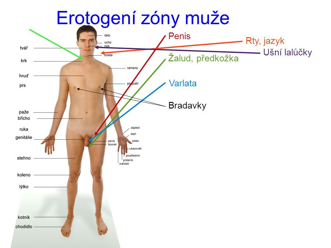 Erotogení zóny muže Penis Rty, jazyk Ušní lalůčky Žalud, předkožka