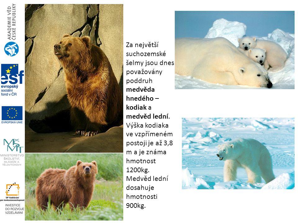 Za největší suchozemské šelmy jsou dnes považovány poddruh medvěda hnedého – kodiak a medvěd lední.