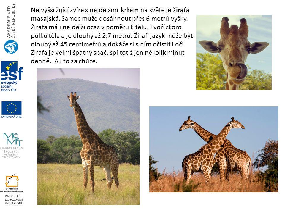 Nejvyšší žijící zvíře s nejdelším krkem na světe je žirafa masajská