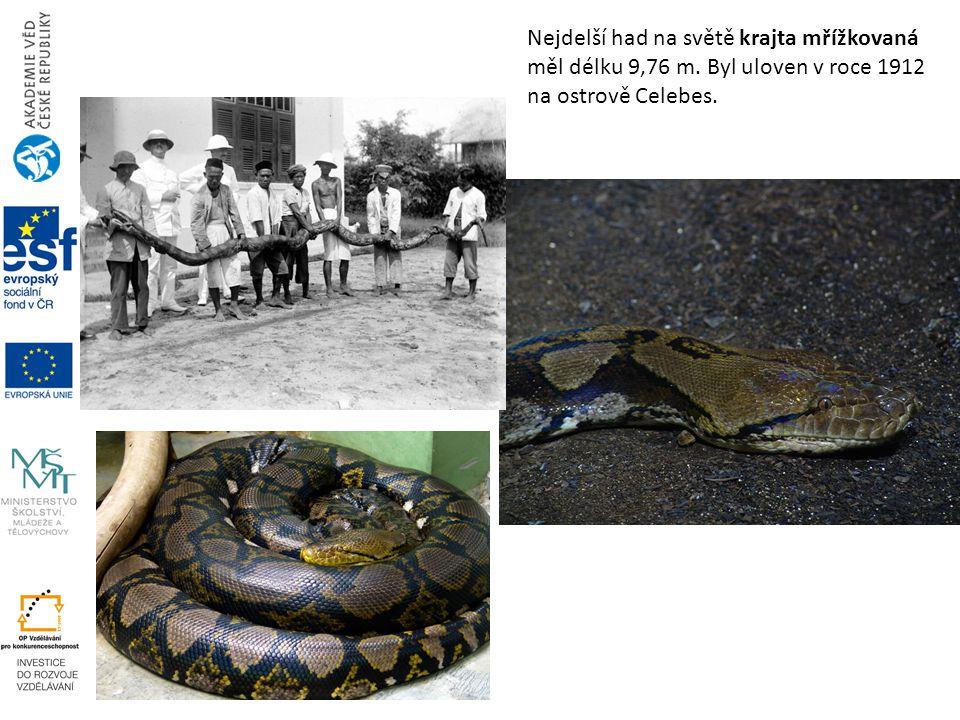 Nejdelší had na světě krajta mřížkovaná měl délku 9,76 m