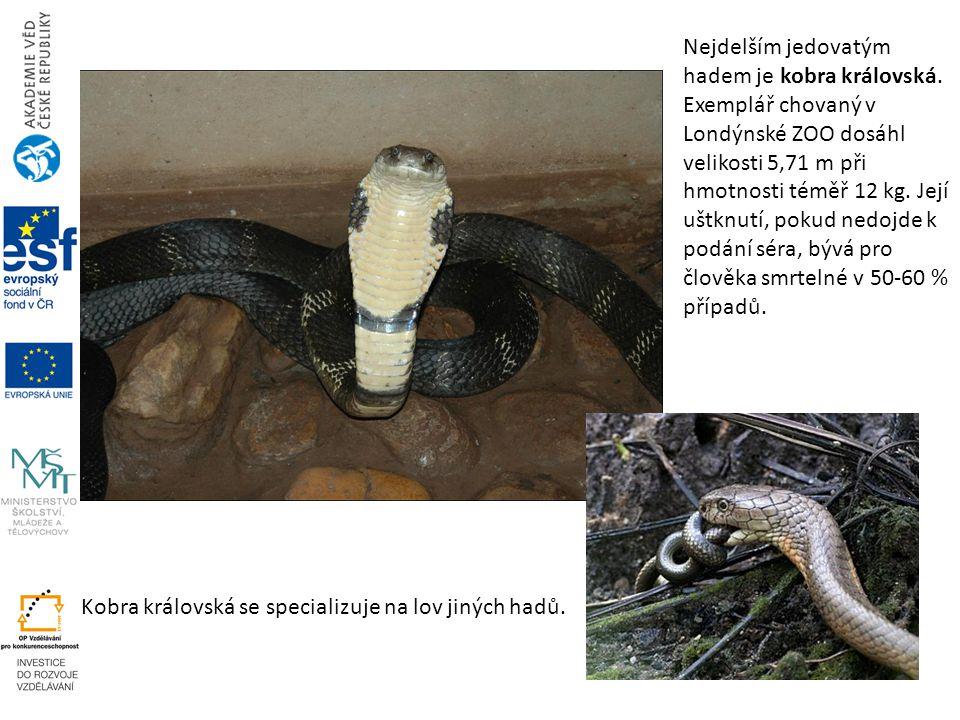 Nejdelším jedovatým hadem je kobra královská