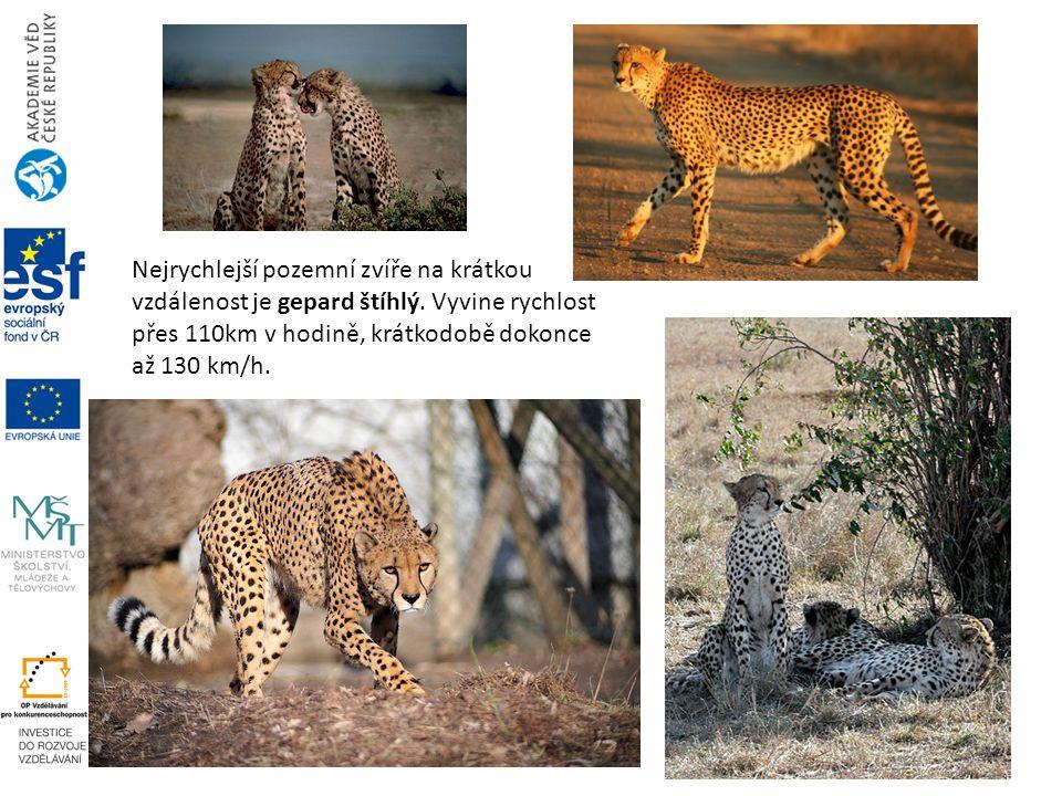 Nejrychlejší pozemní zvíře na krátkou vzdálenost je gepard štíhlý