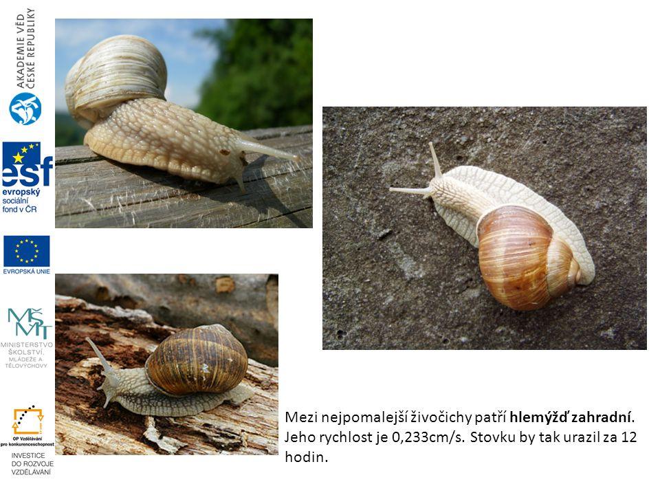 Mezi nejpomalejší živočichy patří hlemýžď zahradní