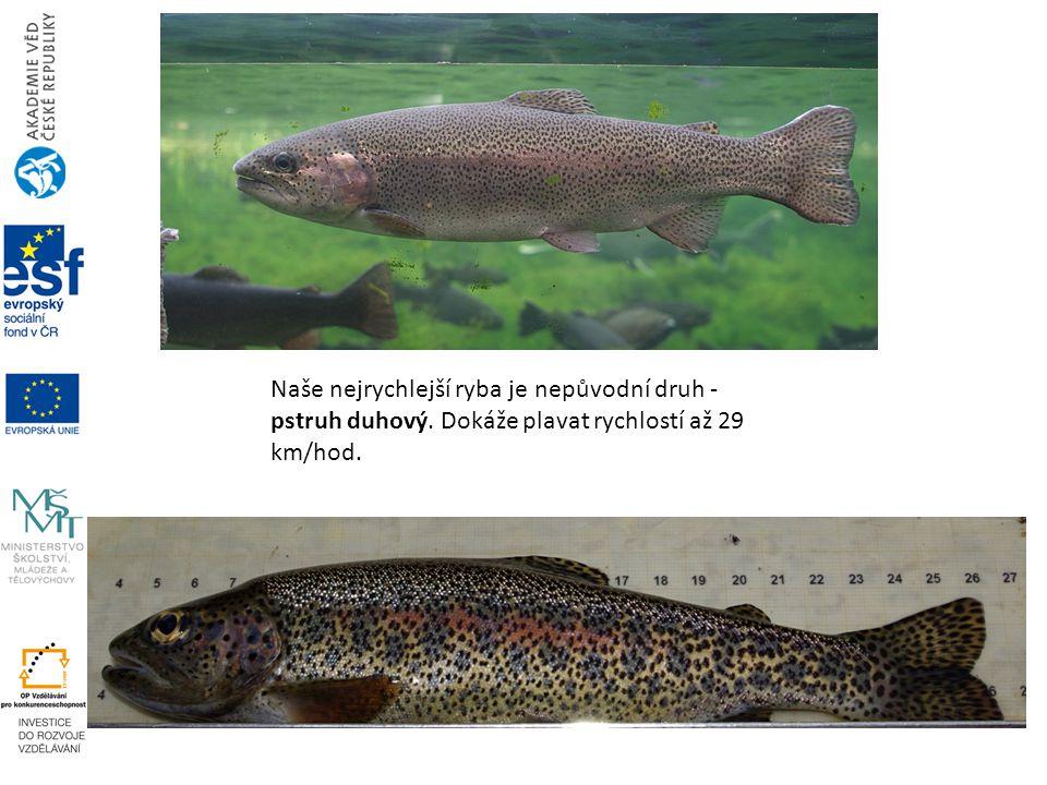 Naše nejrychlejší ryba je nepůvodní druh - pstruh duhový
