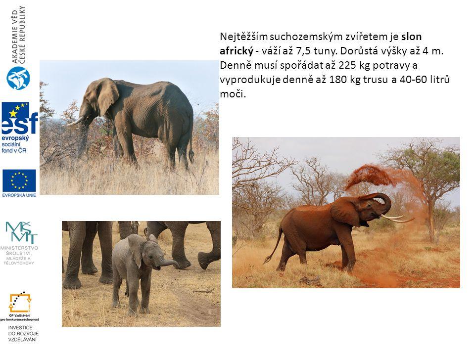 Nejtěžším suchozemským zvířetem je slon africký - váží až 7,5 tuny