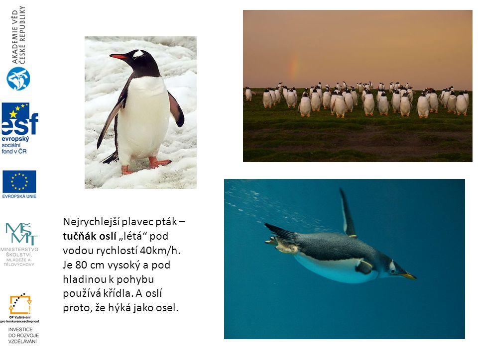 """Nejrychlejší plavec pták – tučňák oslí """"létá pod vodou rychlostí 40km/h."""