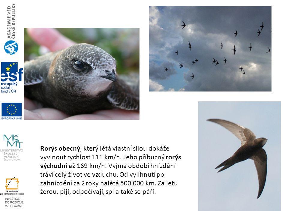 Rorýs obecný, který létá vlastní silou dokáže vyvinout rychlost 111 km/h.