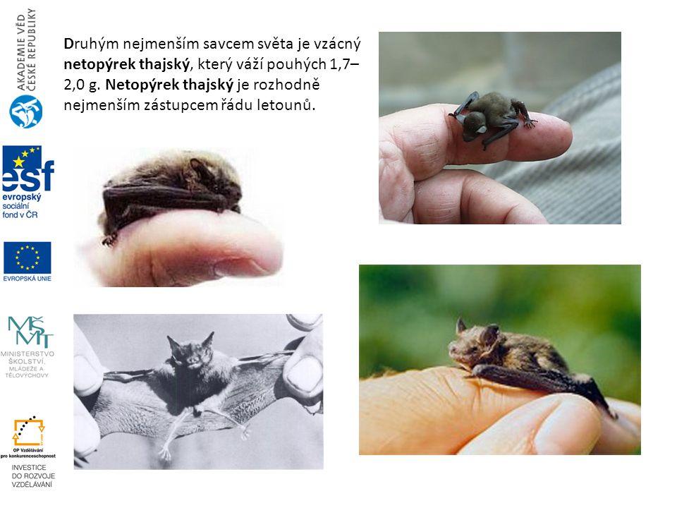 Druhým nejmenším savcem světa je vzácný netopýrek thajský, který váží pouhých 1,7–2,0 g.