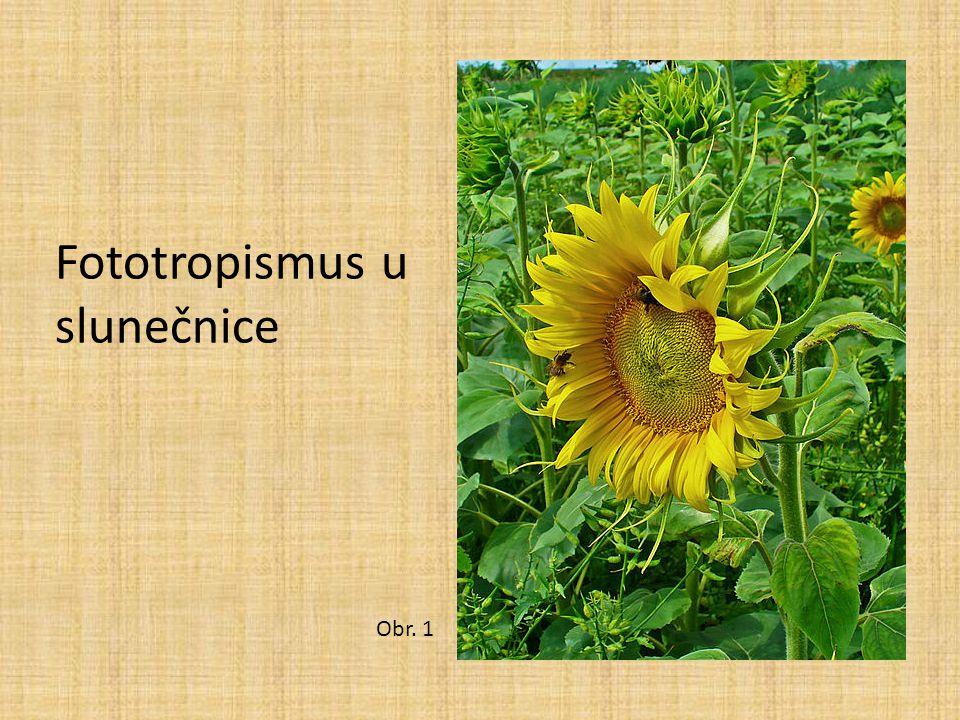 Fototropismus u slunečnice