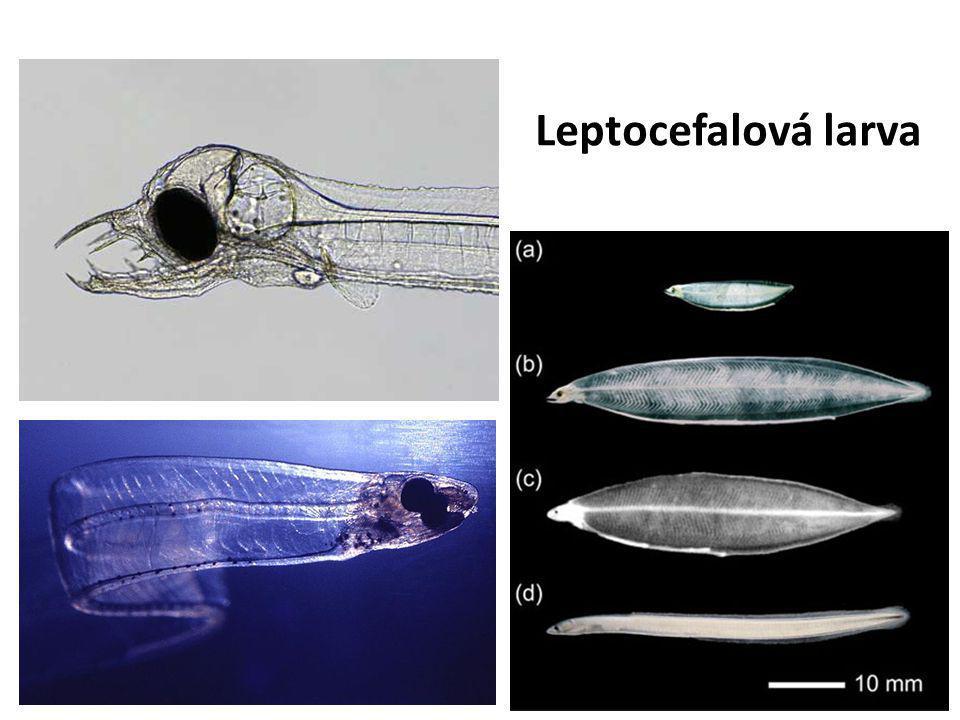 Leptocefalová larva