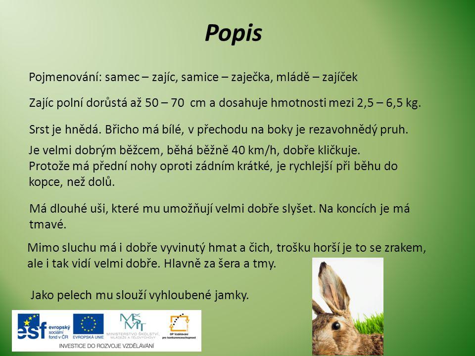 Popis Pojmenování: samec – zajíc, samice – zaječka, mládě – zajíček