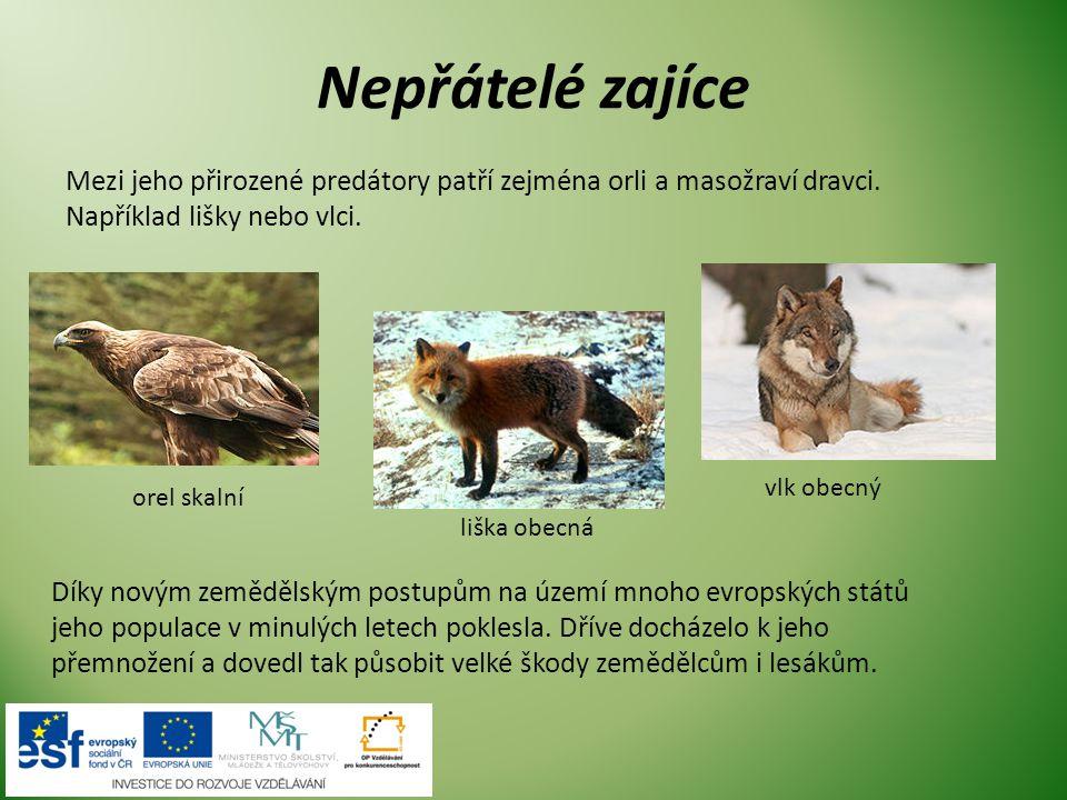 Nepřátelé zajíce Mezi jeho přirozené predátory patří zejména orli a masožraví dravci. Například lišky nebo vlci.