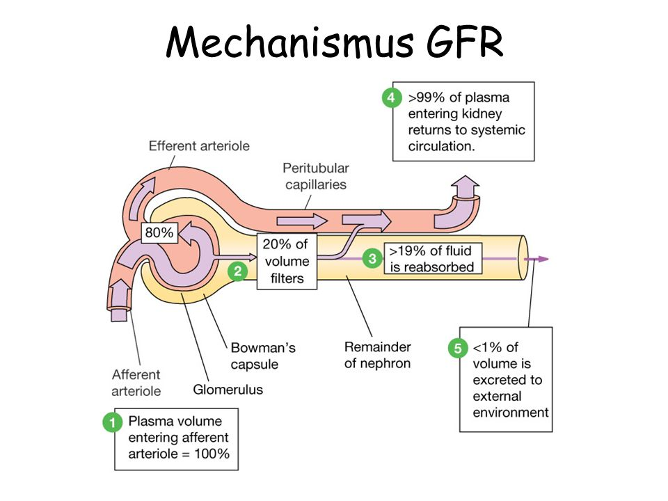 Mechanismus GFR