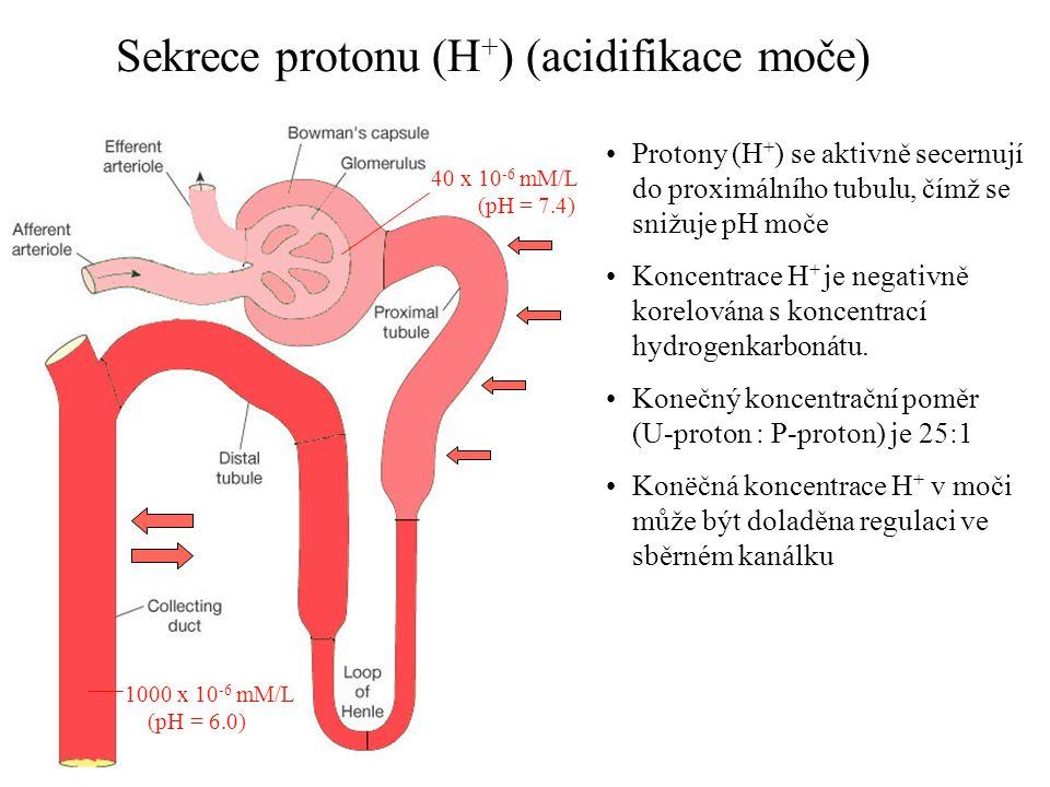 Sekrece protonu (H+) (acidifikace moče)