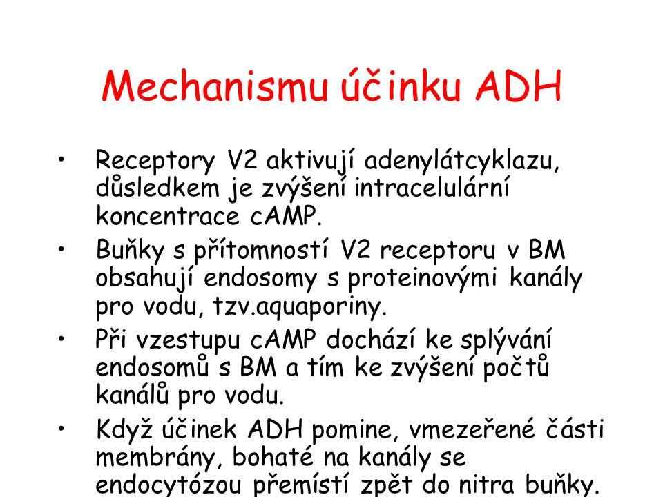 Mechanismu účinku ADH Receptory V2 aktivují adenylátcyklazu, důsledkem je zvýšení intracelulární koncentrace cAMP.
