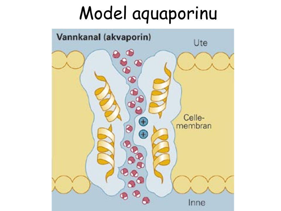 Model aquaporinu