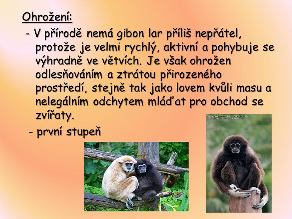 Ohrožení: - V přírodě nemá gibon lar příliš nepřátel, protože je velmi rychlý, aktivní a pohybuje se výhradně ve větvích.