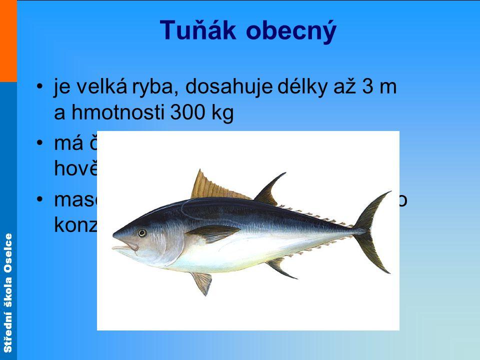 Tuňák obecný je velká ryba, dosahuje délky až 3 m a hmotnosti 300 kg