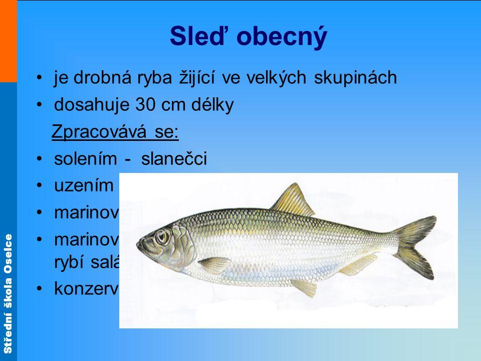 Sleď obecný je drobná ryba žijící ve velkých skupinách