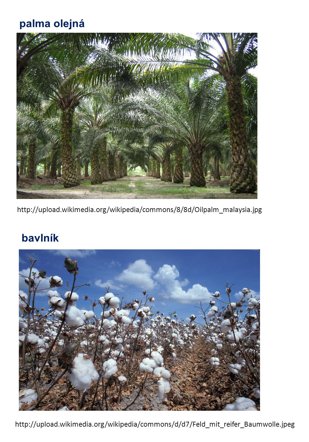 palma olejná http://upload.wikimedia.org/wikipedia/commons/8/8d/Oilpalm_malaysia.jpg. bavlník.