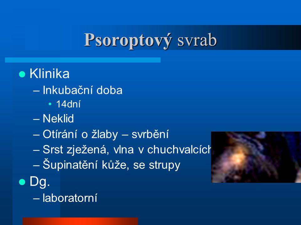 Psoroptový svrab Klinika Dg. Inkubační doba Neklid