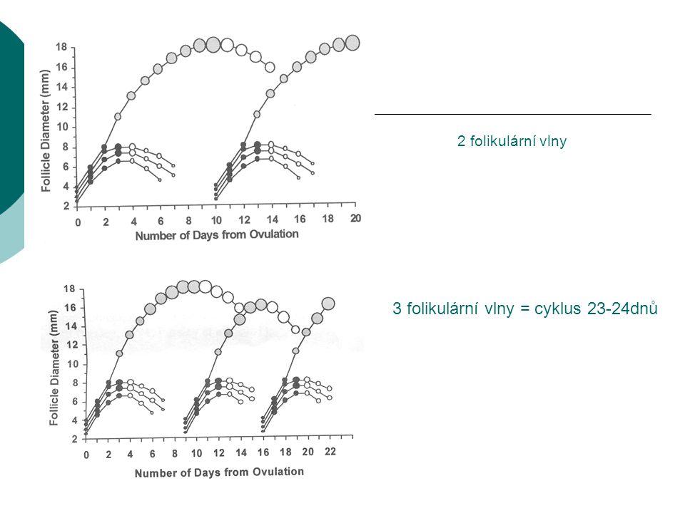 3 folikulární vlny = cyklus 23-24dnů
