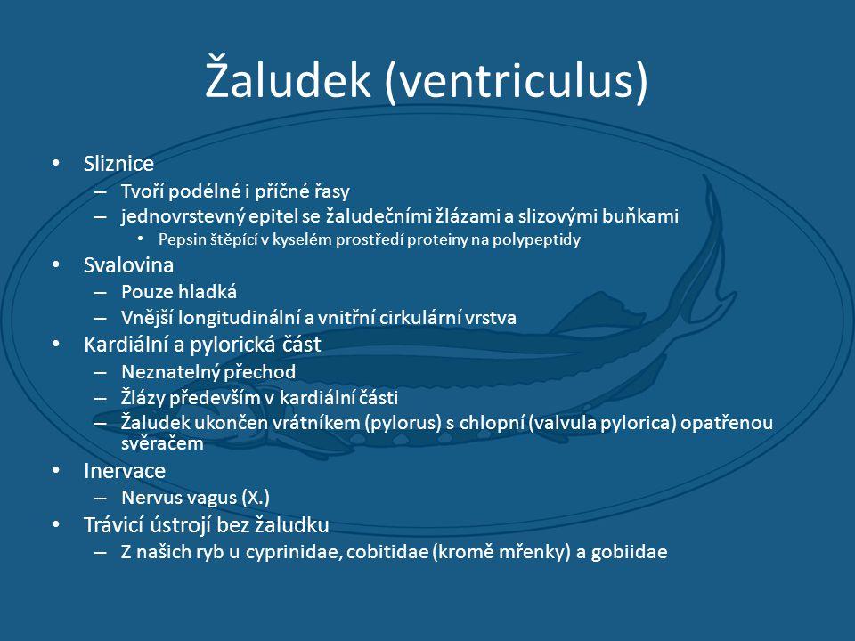 Žaludek (ventriculus)