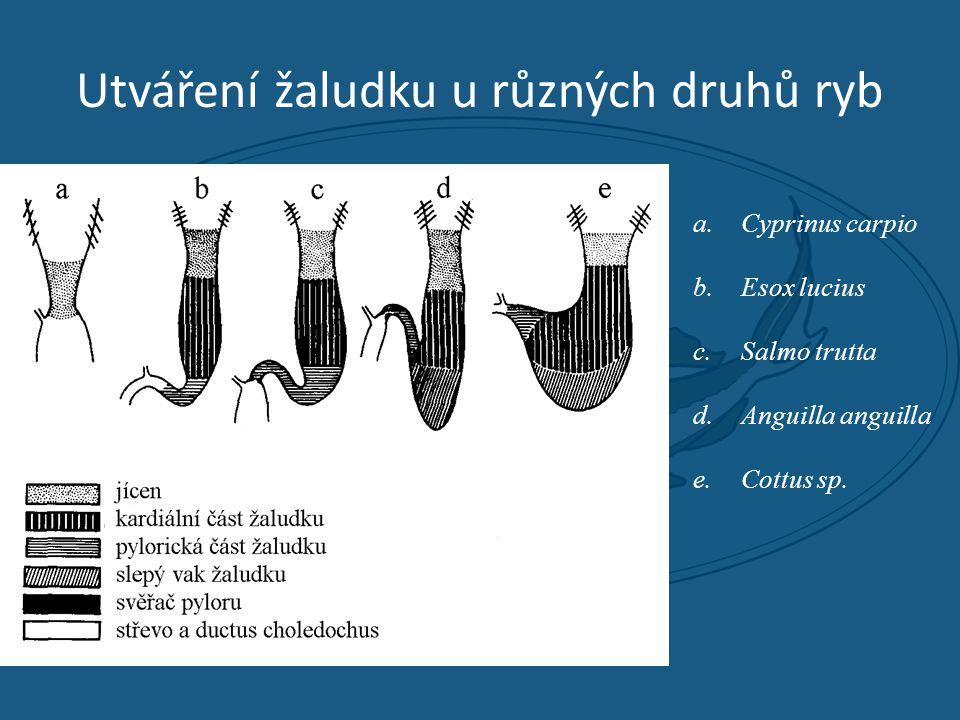 Utváření žaludku u různých druhů ryb