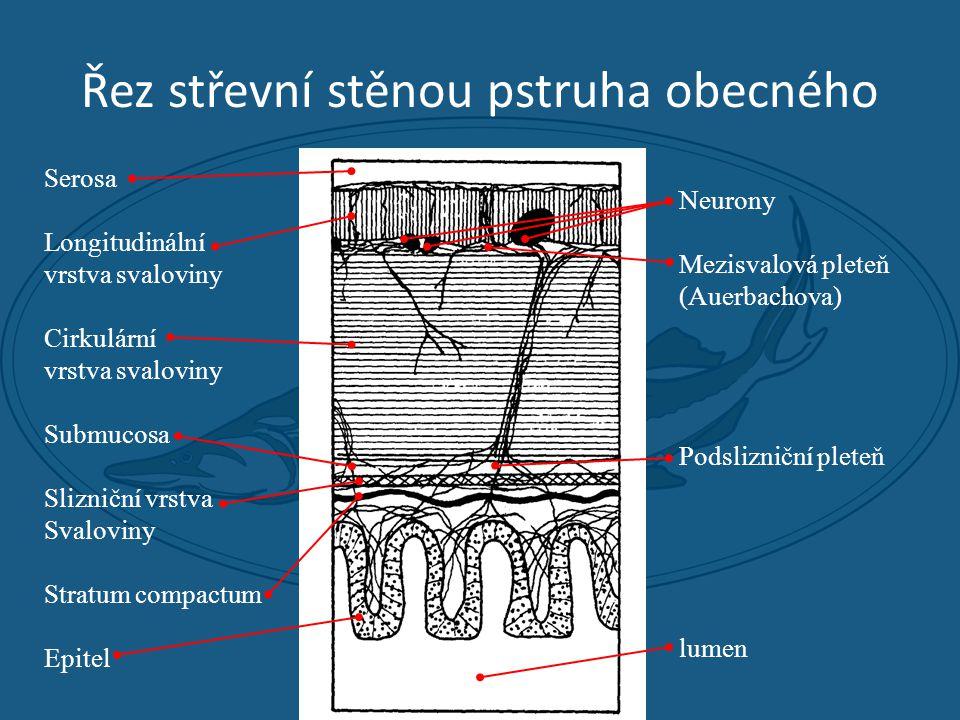 Řez střevní stěnou pstruha obecného