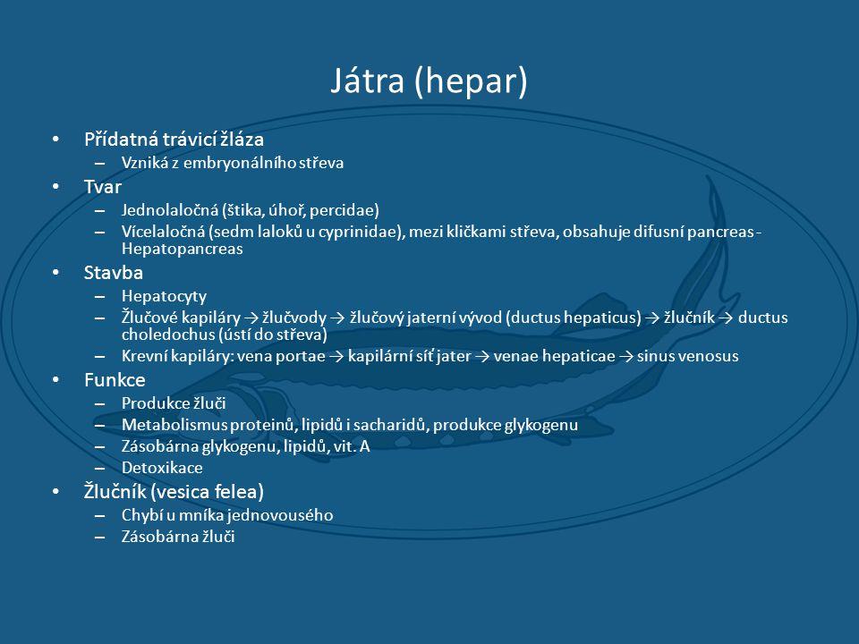 Játra (hepar) Přídatná trávicí žláza Tvar Stavba Funkce