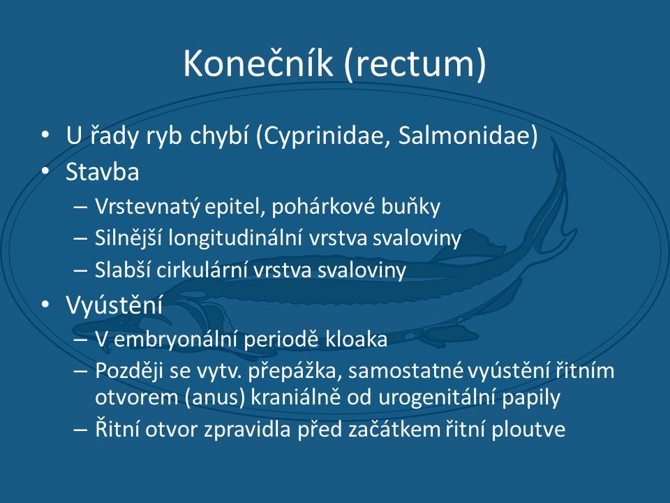 Konečník (rectum) U řady ryb chybí (Cyprinidae, Salmonidae) Stavba