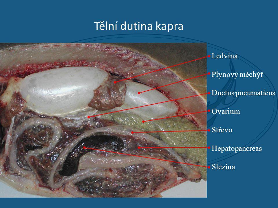 Tělní dutina kapra Ledvina Plynový měchýř Ductus pneumaticus Ovarium