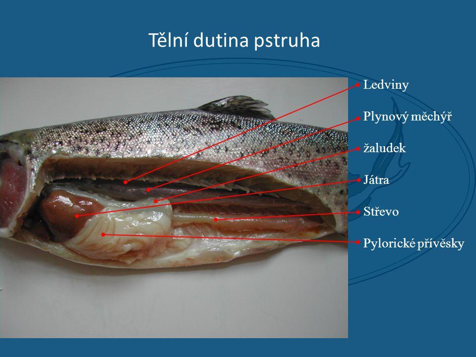 Tělní dutina pstruha Ledviny Plynový měchýř žaludek Játra Střevo