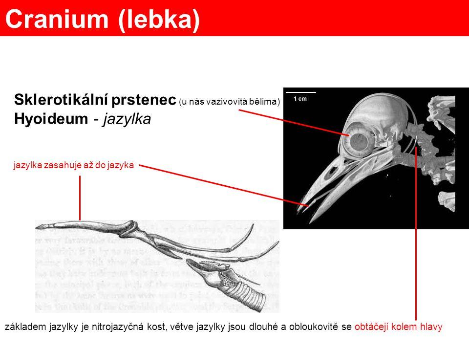 Cranium (lebka) Sklerotikální prstenec (u nás vazivovitá bělima)