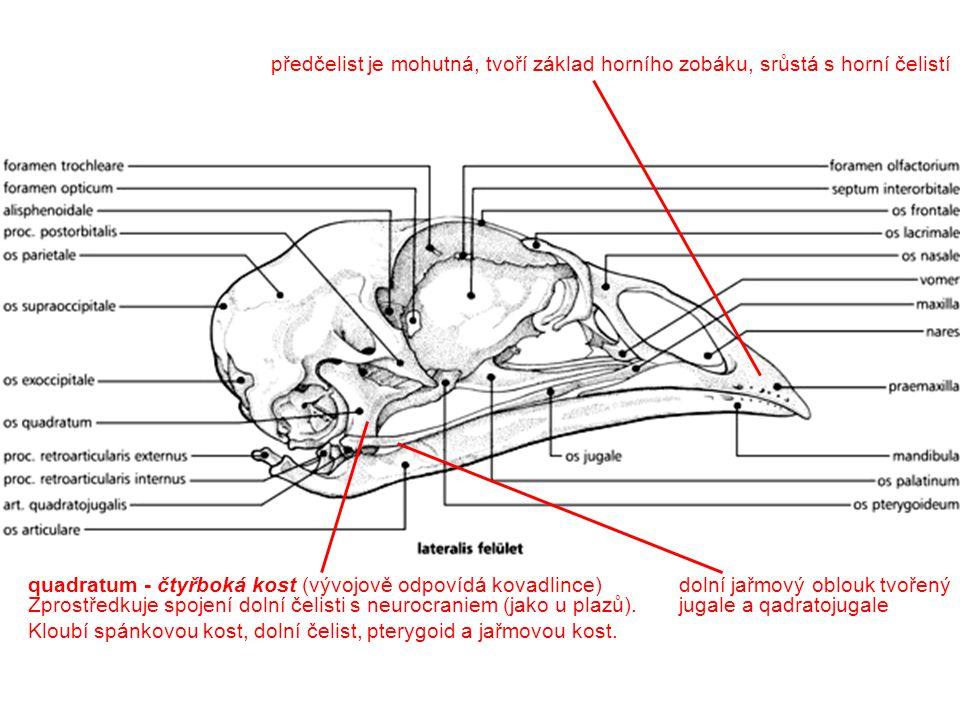 předčelist je mohutná, tvoří základ horního zobáku, srůstá s horní čelistí