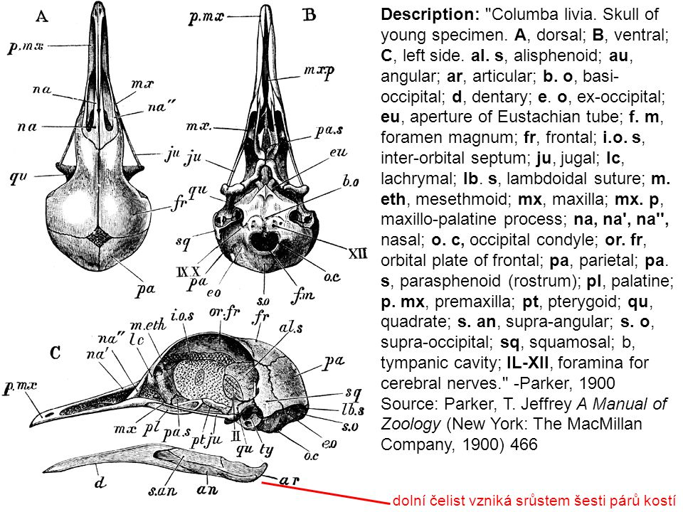 Description: Columba livia. Skull of young specimen