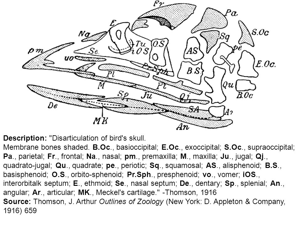 Description: Disarticulation of bird s skull.