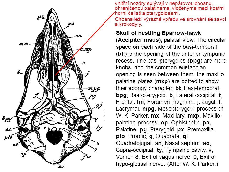 vnitřní nozdry splývají v nepárovou choanu, ohraničenou palatinama, vloženýma mezi kostmi horní čelisti a pterygoideemi.