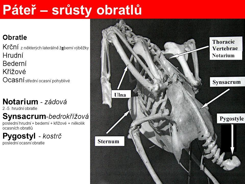 Páteř – srůsty obratlů Notarium - zádová Synsacrum-bedrokřížová