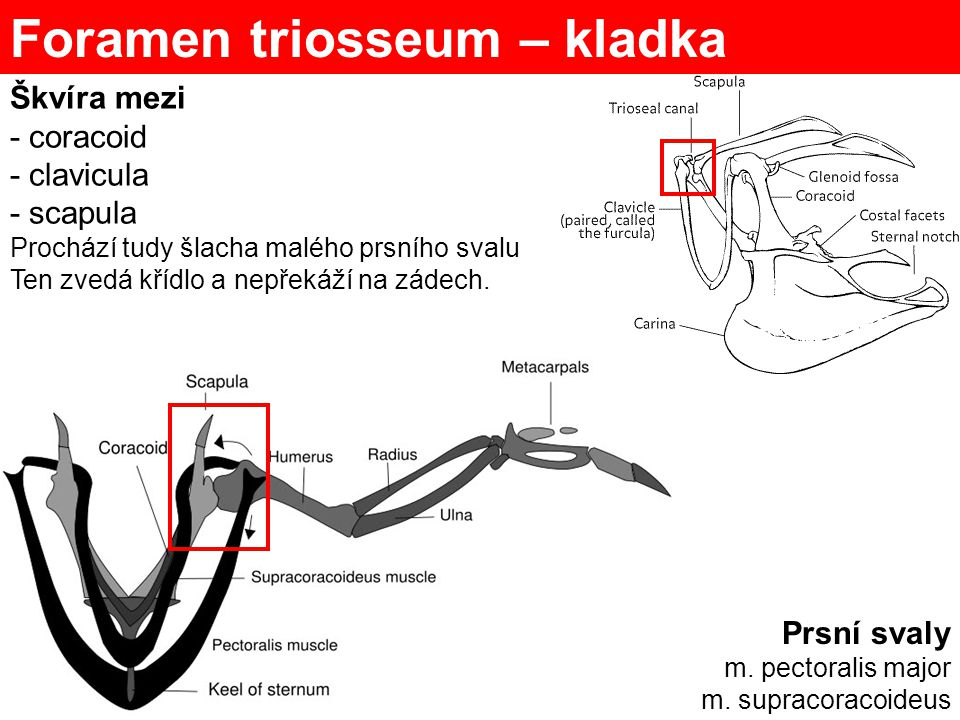 Foramen triosseum – kladka