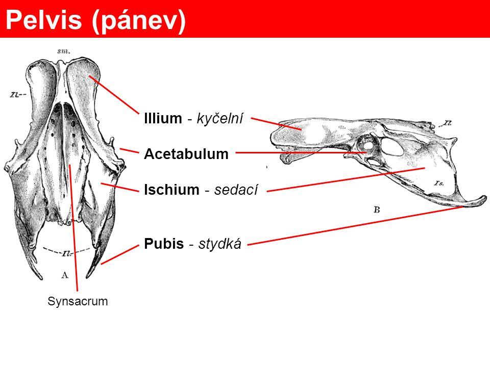 Pelvis (pánev) Illium - kyčelní Acetabulum Ischium - sedací