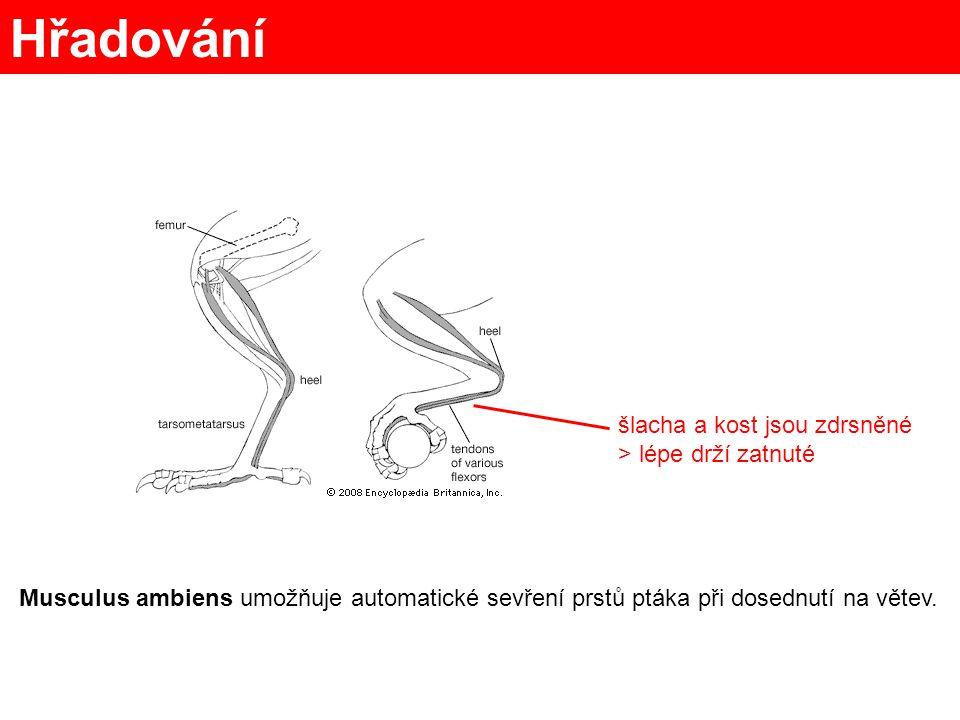 Hřadování šlacha a kost jsou zdrsněné > lépe drží zatnuté