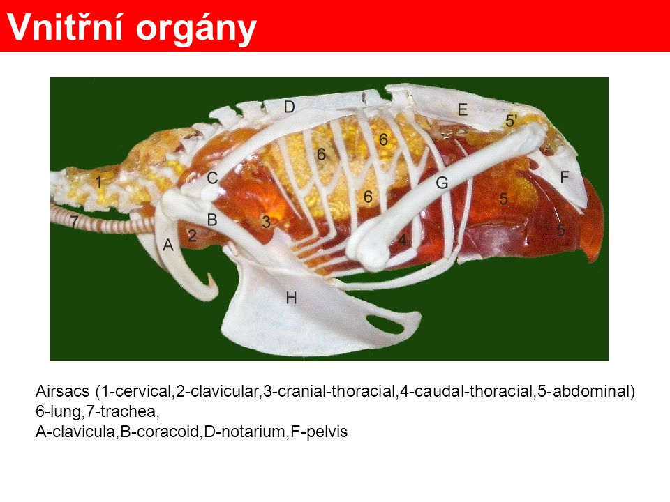 Vnitřní orgány Airsacs (1-cervical,2-clavicular,3-cranial-thoracial,4-caudal-thoracial,5-abdominal)